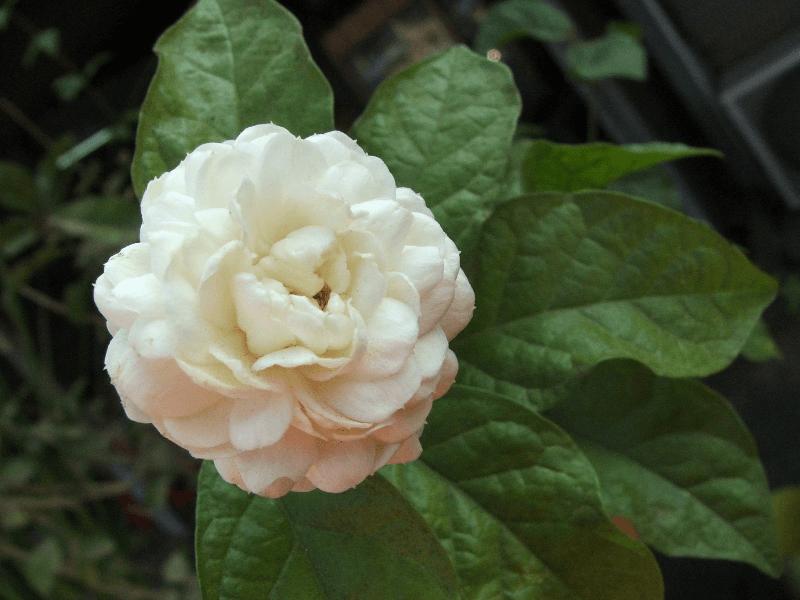 گل یاس