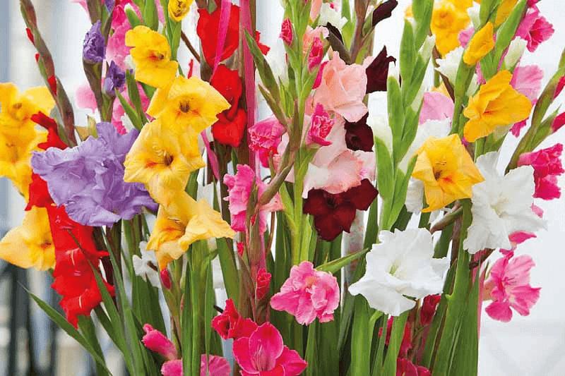 گل گلادیولوس