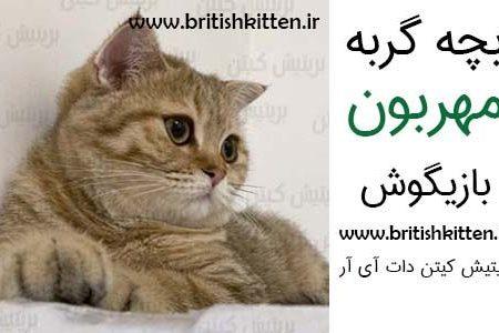 معرفی بچه گربه نژاد اسکاتیش فولد، گربه ای با گوش های خمیده
